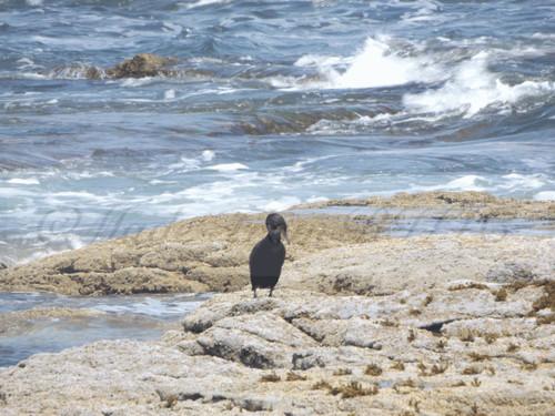 Cormorant Black Point