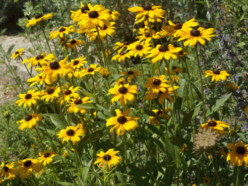 Hunts Mills Black Eyed Susan