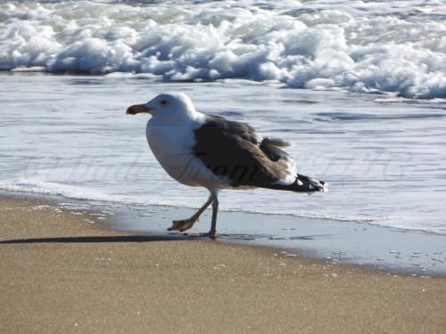 Wind Blown Herring Gull