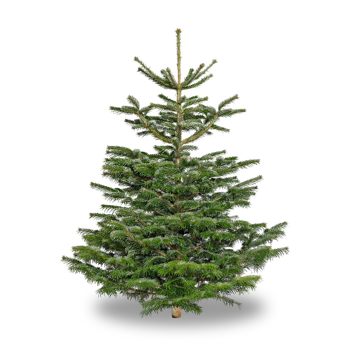 Normann  Fir Christmas Tree