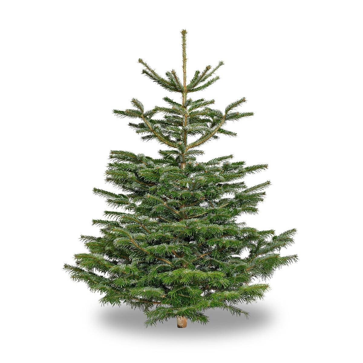 Nordmann Fir Christmas Tree - 6ft