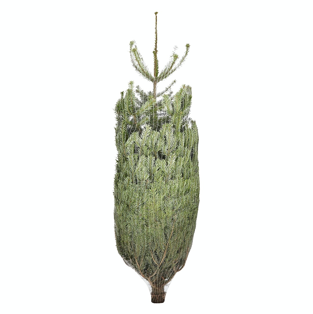 Netted Nordmann Fir Christmas Trees 7ft