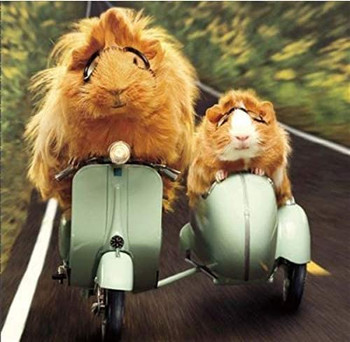 Humorous Photographic Blank/Birthday Card Guinea Pigs On Moped