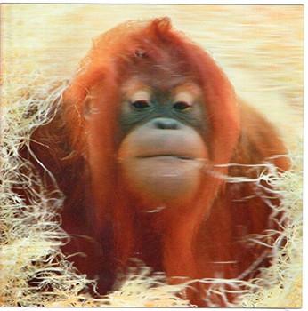 3D Holographic Card Up Close Orangutan