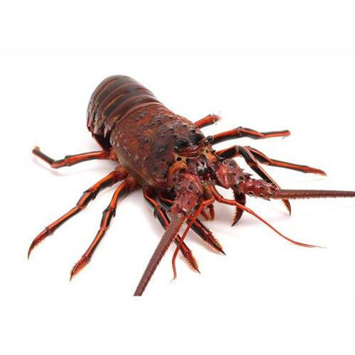 California Spiny Lobster - Whole - Call for Availability