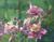Linda Curley Christensen Columbine Flowers