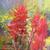 Linda Curley Christensen Indian Paintbrush
