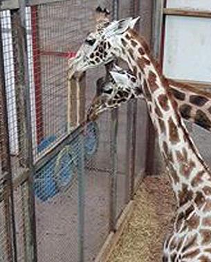giraffe-itching.jpg