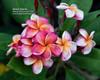 Desert Sunrise JJ (grafted)  Plumeria