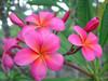 Royal Hawaiian aka Plastic Pink Plumeria