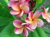 Orange Rainbow Plumeria