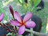 Violet Pink Plumeria