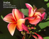 Avalon FCN (grafted with roots) Plumeria