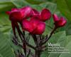 Majestic Plumeria