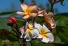Texas Soffie Plumeria