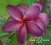 Viola G JJ (grafted with roots) Plumeria