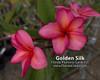 Golden Silk (rooted) Plumeria