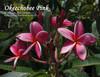 Okeechobee Pink FCN  (rooted) Plumeria