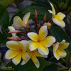 Aztec Gold (rooted) Plumeria