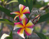 Candy Stripe (rooted) Plumeria