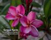 Grove Farm (rooted) Plumeria