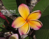 Penang Peach (rooted) Plumeria
