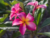 Raspberry Sundae (grafted with roots) Plumeria