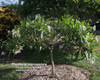 P. Stenopetala (grafted with roots) Plumeria