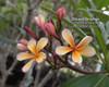 Dwarf Orange (grafted with roots) Plumeria