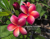 Guadalupe Fernandez (grafted with roots) Plumeria