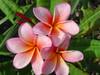 Iris Sunset Plumeria
