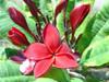 Siam Ruby Plumeria