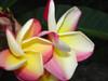 Vera Cruz Rose Plumeria