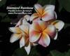 Sherbet Town aka Diamond Rainbow Plumeria