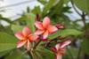 India Plumeria
