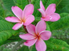 Cancun Pink (rooted)  Plumeria