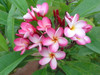Katrina FCN (grafted with roots)  Plumeria