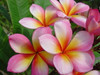 Wishy Washy (rooted) aka Cooktown Queen Plumeria