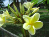 Bowen Yellow (rooted) Plumeria