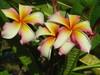 Hawaiian Flag JL Plumeria
