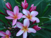 Ana Rosa (grafted with roots) Plumeria