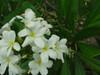 P. tuberculata Plumeria