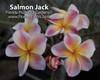 Salmon Jack JJ aka JJ Carnival Plumeria