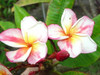 Bonfire (grafted with roots) Plumeria