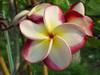 Danai Delight (rooted) Plumeria