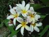 Elza FCN (rooted) Plumeria