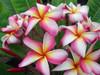 Englewood (rooted)  Plumeria