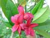 Schmidt Red Plumeria
