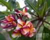 Sorrento Stripe Plumeria