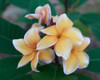 Heirloom (grafted with roots) Plumeria